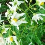 Solanum chacoense