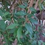 Forsythia intermedia