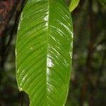 Philodendron ornatum