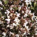Thymus vulgaris Fleur