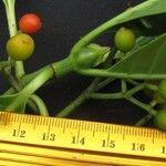 Psychotria panamensis