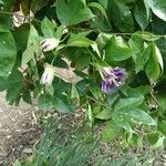 Passiflora caerulea Flower