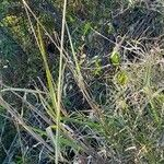 Calamagrostis viridiflavescens