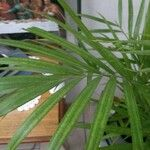 Chamaedorea seifrizii Leaf