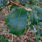 Ilex opaca Leaf