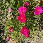 Portulaca grandiflora Kwiat