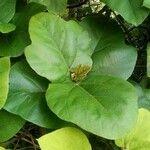 Ficus fulva