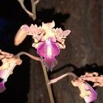 Myrmecophila tibicinis