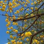 Handroanthus chrysanthus Flower
