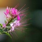 Cleome spinosa