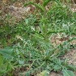 Cirsium arvense Hoja