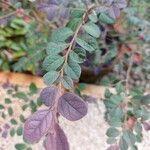 Loropetalum chinense 葉