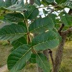 Kigelia africana Leaf