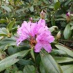 Rhododendron ponticum Kvet