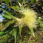 Syzygium jambos Fruit
