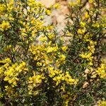 Anthyllis hermanniae