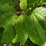 Boehmeria macrophylla Leht