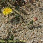 Crepis bellidifolia