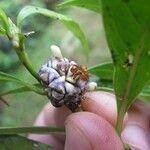 Psychotria aubletiana