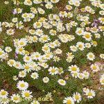 Aaronsohnia pubescens