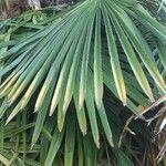 Chamaerops humilis Leaf