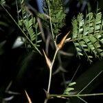 Acacia sphaerocephala