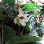 Codonanthe crassifolia