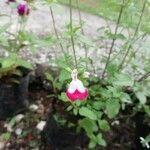 Salvia microphylla Kvet