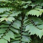 Phyllanthus acidus Lehti