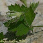 Geum heterocarpum