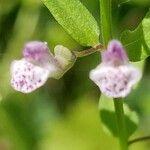 Scutellaria racemosa