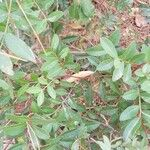 Pistacia lentiscus Blad