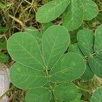 Cassia obtusifolia