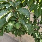 Prunus domestica Levél
