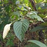 Mussaenda pubescens