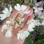 Orlaya grandiflora Kukka