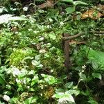 Callisia monandra