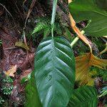 Philodendron lingulatum