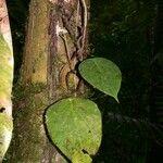 Peperomia hernandiifolia