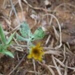 Emilia discifolia Leaf