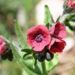 Cynoglossum montanum