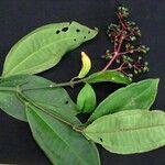 Miconia hondurensis