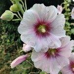 Alcea rosea Blomst