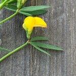 Lotus tenuis Flower