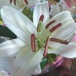 Lilium candidum Virág