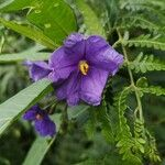Solanum nudum