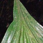 Asplundia longitepala