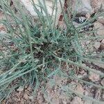 Delphinium balansae