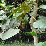 Croton macrostachyus Leaf