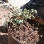 Ruta graveolens Leaf